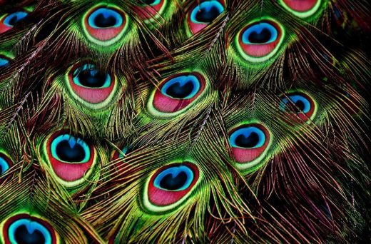Living Structure Comes From Patterns peacock feathers
