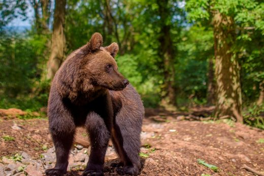 Albie the brown bear at Bear Wood, Wild Place Project